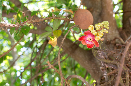 cannonball: Cannonball flower blooming of Cannonball Tree or Sal Tree Stock Photo