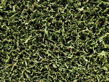 hedge: Thuja green hedge background