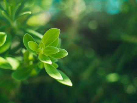 Marjoram herb plant macro shot. Plant growing outdoors in home garden