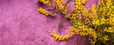 Dark purple textured background with mimosa. Copy space greeting card for Womans day