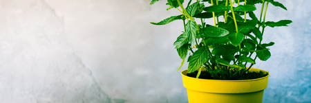 Pot of mint herb on table over gray stone background. Banner
