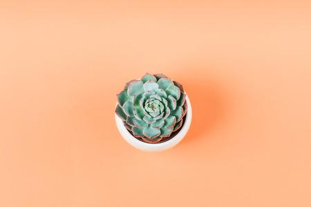 Succulent plant in white pot on pale orange background Фото со стока