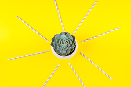 Succulent plant in white pot on bright yellow background with colorful straws as sun beam Фото со стока