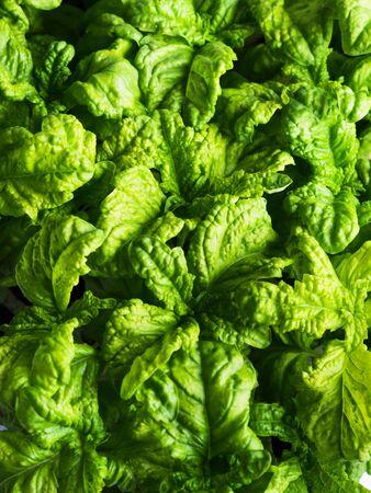 Green basil seedlings leaves textured background. Home gardening concept