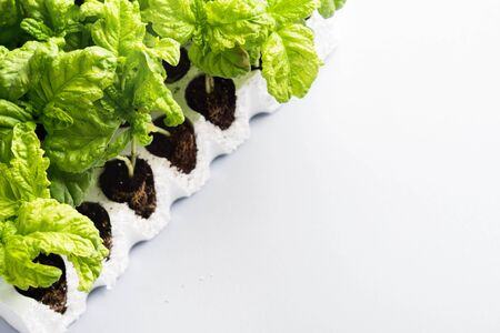 Planting of Italian mammoth basil seedlings. Gardening concept Фото со стока