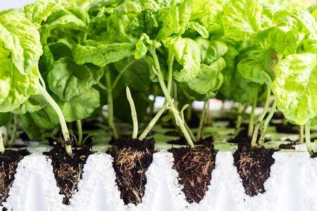 Planting of Italian mammoth basil seedlings. Gardening concept Stock Photo