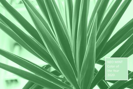 Palm succulent plant growing in the city. Neo mint green color of 2020