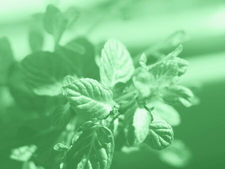 Mint herb plant macro shot. Plant growing outdoors in home garden. Neo mint green color of 2020 스톡 콘텐츠