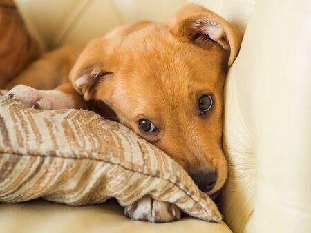 Golden cute adopted half breed puppy playing with pillow and chewing it on couch Zdjęcie Seryjne