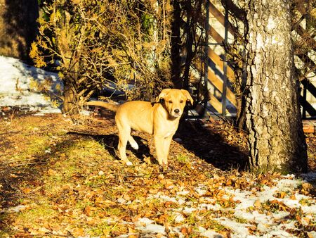 Golden cute puppy playing in winter garden in the middle of the leaves and ground, snow Zdjęcie Seryjne