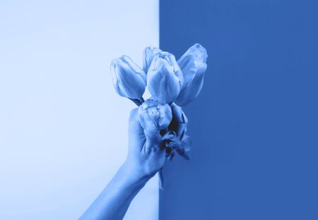 Female hand with holding beautiful tulips on duotone classic blue color of 2020 split trendy backdrop. Creative art greeting card Zdjęcie Seryjne