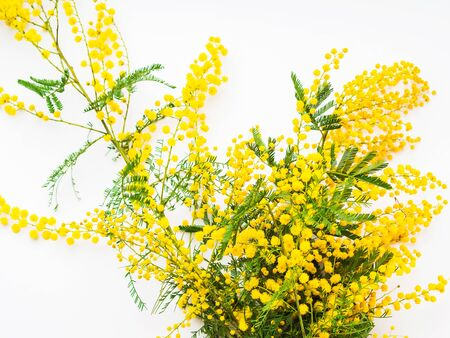 Yellow mimosa flowers on white background. Traditional symbol gift for womans day on March, 8