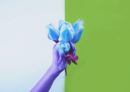Female hand holding beautiful classic blue tulips in multi color tone on split trendy backdrop. Creative art greeting card