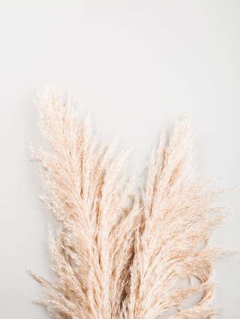 Trendy botanical background with fluffy pampas grass. Interior design, boho style plant home decor Foto de archivo
