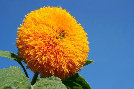 Sunflower against the blue sky photo