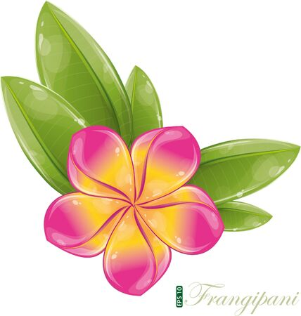 plumeria on a white background: Pink frangipani flower, vector illustration, eps-10 Illustration