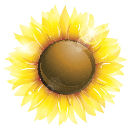 sunflower isolated: Girasol hermoso aislado en blanco