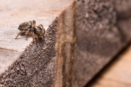 salticidae: Salticidae  Spider prepare jump