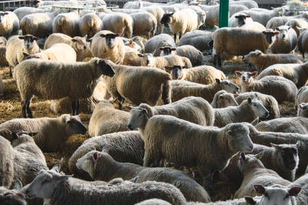 A large flock of unsheared sheep at a cattle farm