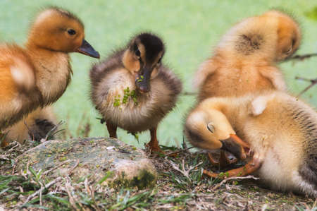Group of baby ducklings on the shore of a lake in the forest cleaning themselves