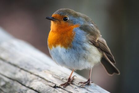 Close-up portrait of a beautiful robin with red perched on a branch