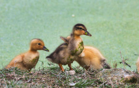 Group of baby ducklings on the shore of a lake in the forest Archivio Fotografico