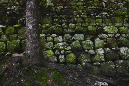 A tree in the forest against an old rural stone wall with green moss Stok Fotoğraf