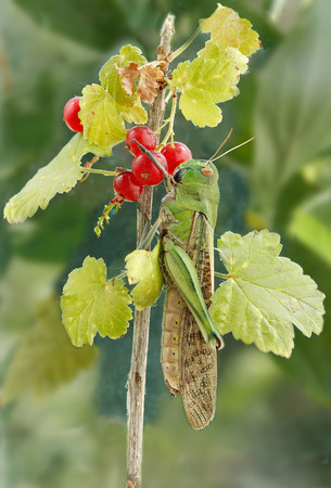 langosta: langosta en una grosella rama