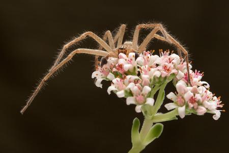 flower spider: spider hunter on the flower