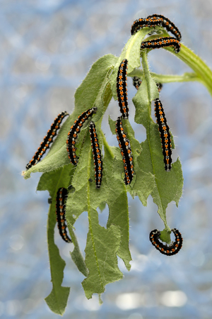 mol: caterpillars devour the leaves