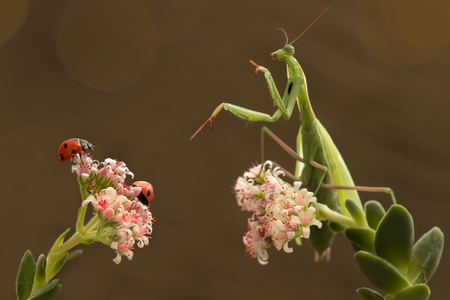 schoolmaster: mantis and ladybugs are sitting on the neighboring branches