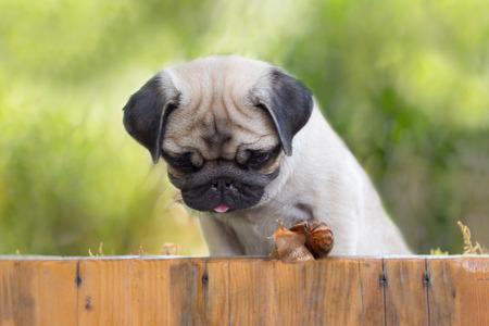 caracol: el pug cachorro está viendo en caracol que se arrastra hasta la cerca Foto de archivo