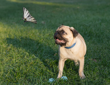 puzzlement: the puppy pug on grass is watching on butterfly, known as papilionidae Stock Photo