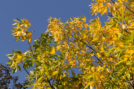 foliar: autumnal golden foliage of ash Penn on background of blue sky
