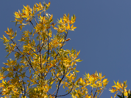 ash tree: autumnal golden foliage of ash Penn on background of blue sky