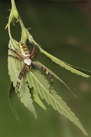 bruennichi: closeup Wasp Spider Argiope bruennichi on the leaf of cannabis
