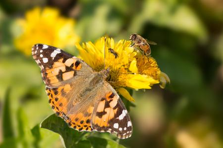 papillon: papillon Vanessa cardui, abeille et la mouche boivent le nectar des fleurs jaunes
