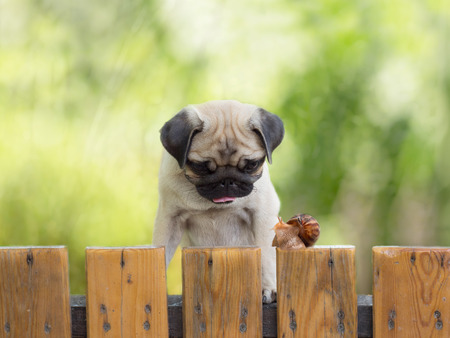 pug puppy: the puppy pug is watching crawling snail fence Stock Photo