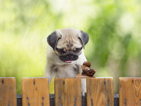 puzzlement: the puppy pug is watching as a large snail carries little snail on the wooden fence Stock Photo