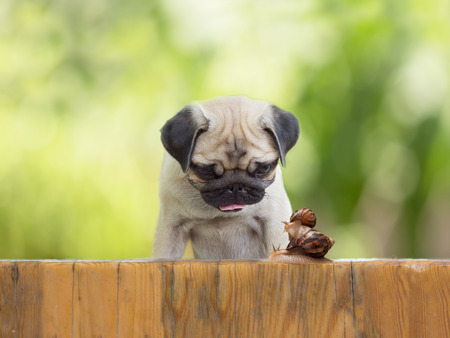 pug puppy: the puppy pug is watching as a large snail carries little snail on the wooden fence Stock Photo