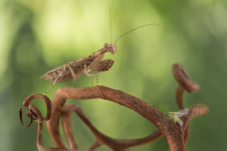 lurk: very tiny mantis, called Armenepusilla, hunted for small green bug on the grapevine on green background Stock Photo