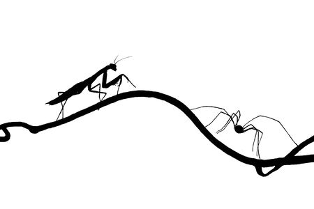 phalangida: the silhouettes of the praying mantis and the spider on slender twig. isolated on white spider runs away, mantis catching up