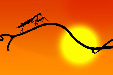 predatory insect: the silhouette of a graceful praying mantis on  slender twig on the backdrop of the sun and red sky