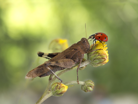 flower ladybug: grasshopper and ladybug together on a yellow flower on dark green background