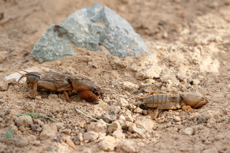 saboteur: Closeup two European mole cricket (Gryllotalpidae) running along the ground