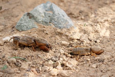 Closeup two European mole cricket (Gryllotalpidae) running along the ground