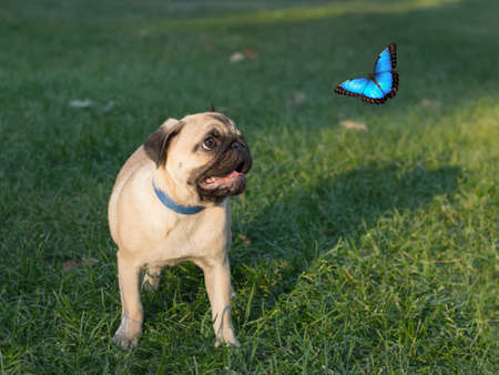 morpho menelaus: the puppy pug on grass is watching on butterfly, known as Morpho menelaus