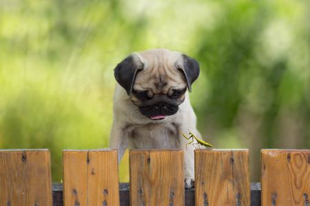 puzzlement: the puppy pug watching as a praying mantis sitting on the fence