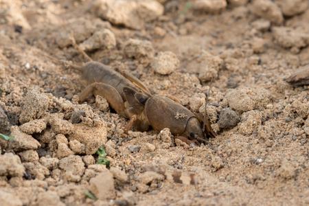 saboteur: Closeup European mole cricket (Gryllotalpa gryllotalpa) digs the earth Stock Photo