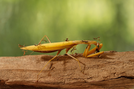 unusually: closeup many young mantises climb and watch the adult praying mantis eats